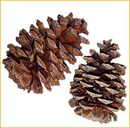 Ornaments Pinecones